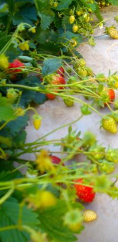 Strawberries, www.AfterOrangeCounty.com