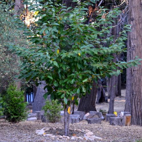 Cherry Tree, www.AfterOrangeCounty.com