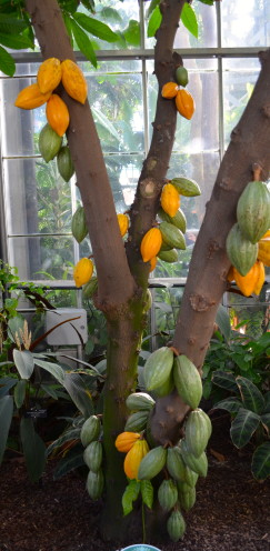 Cacao Tree,Exploring the U.S. Botanic Garden, by www.AfterOrangeCounty.com