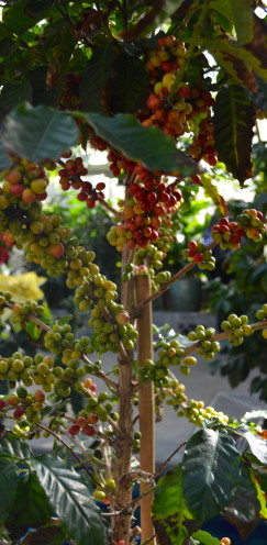 Coffee Tree,Exploring the U.S. Botanic Garden, by www.AfterOrangeCounty.com