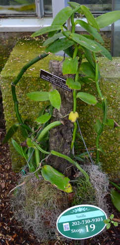 Vanilla Plant, Exploring the U.S. Botanic Garden, by www.AfterOrangeCounty.com