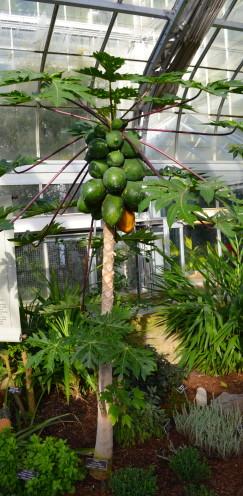 Papaya Trees,Exploring the U.S. Botanic Garden, by www.AfterOrangeCounty.com