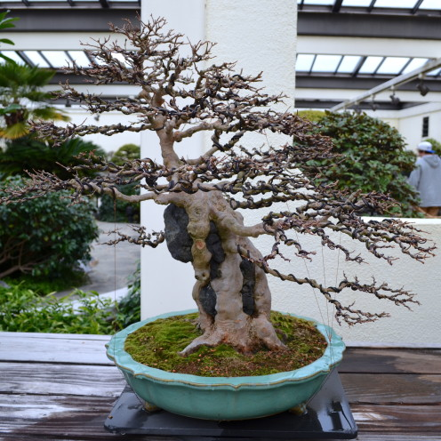 A Visit with a 388 Year Old Bonsai Tree,www.AfterOrangeCounty.com