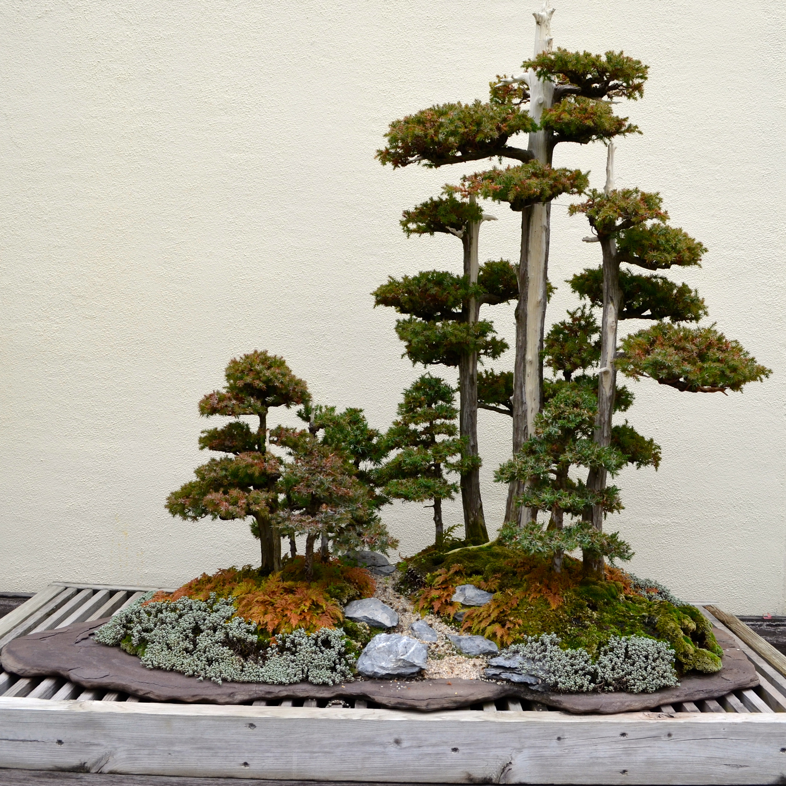 A visit with a 389 year old bonsai tree after orange county for Different kinds of bonsai trees