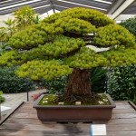 A VISIT WITH A 389 YEAR OLD BONSAI TREE