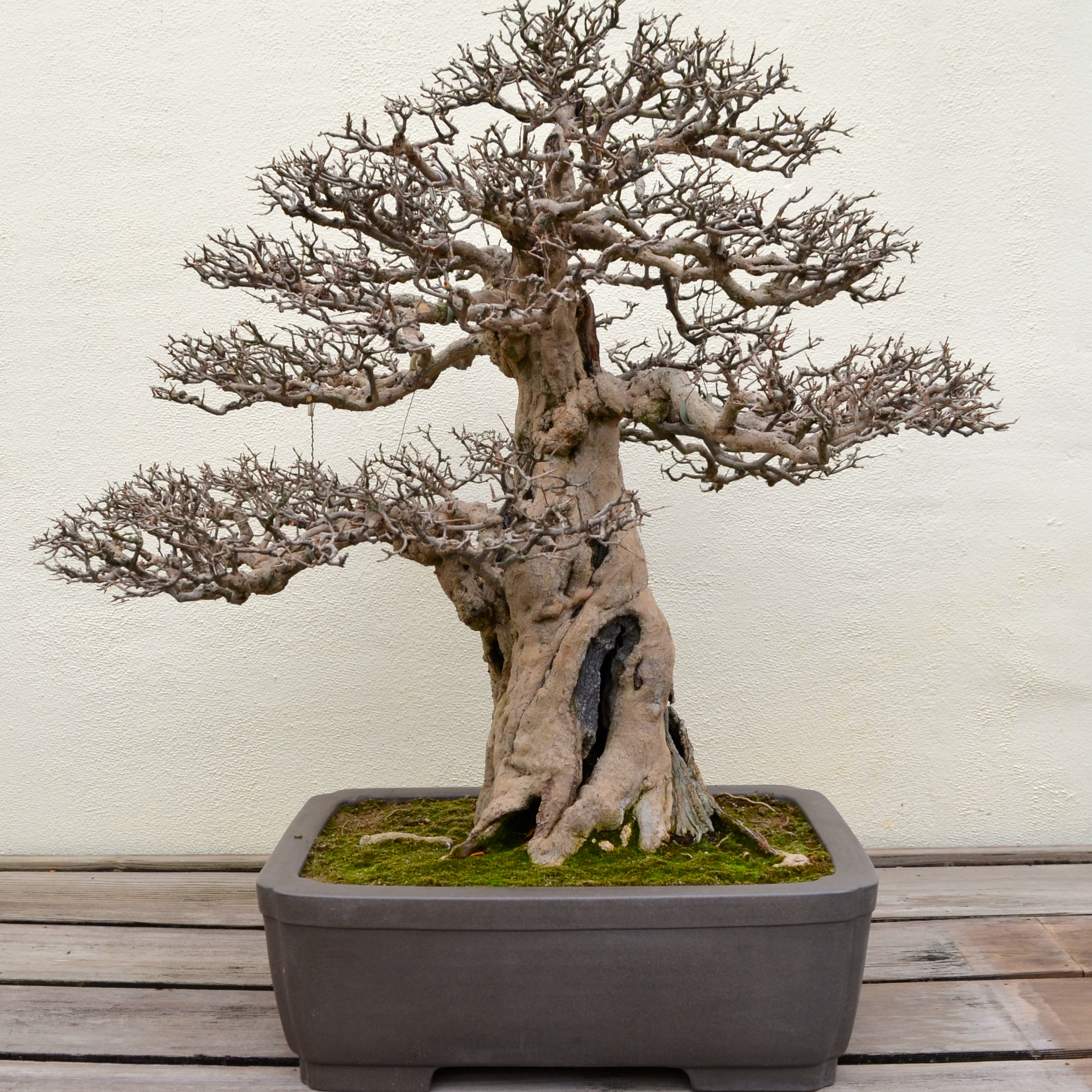 A Visit With 389 Year Old Bonsai Tree After Orange County Wiring 388