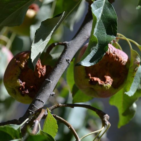 Apple Tree, www.AfterOrangeCounty.com