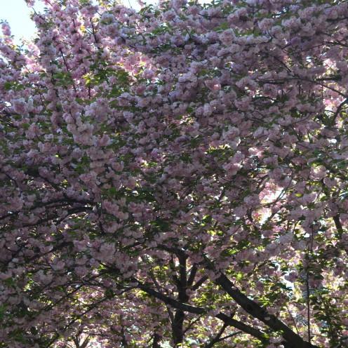 Cherry Blossoms   www.AfterOrangeCounty.com