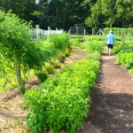 A BEAUTIFUL VEGETABLE GARDEN