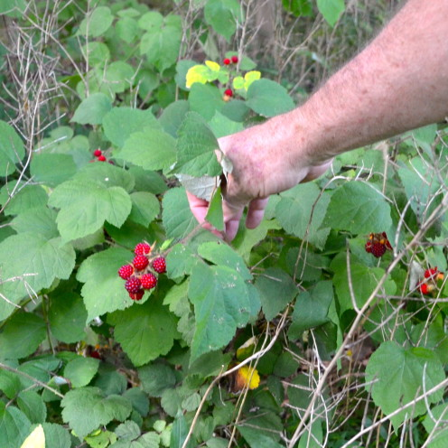 Wild berries growing at The Inn At Little Washington | www.AfterOrangeCounty.com