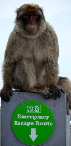 The Barbary Apes of Gibraltar | www.AfterOrangeCounty.com