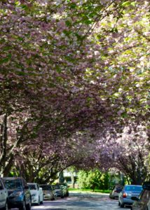 SUNDAYS WITH CELIA VOL 82 | DC Cherry Blossoms | www.AfterOrangeCounty.com