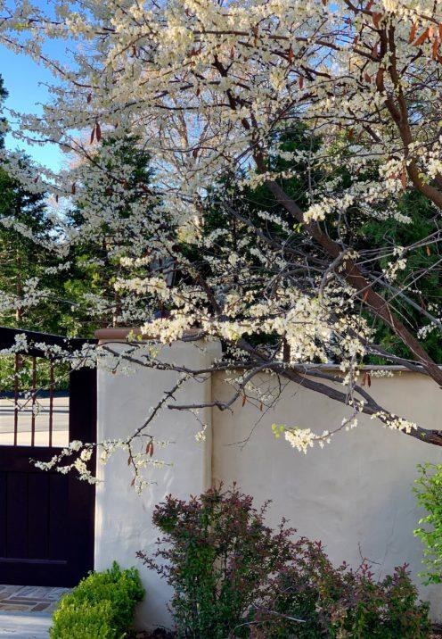 SUNDAYS WITH CELIA VOL 84 | Spring arriving in my Garden | www.AfterOrangeCounty.com