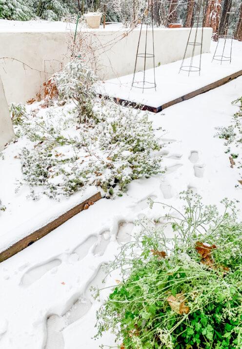 SUNDAYS WITH CELIA VOL 99   Harvesting Herbs in Winter   www.AfterOrangeCounty.com